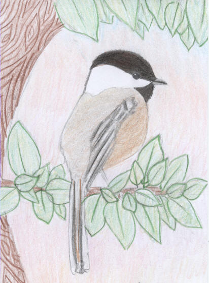 Black Capped Chickadee Drawing Black-capped chickadeeBlack Capped Chickadee Drawing